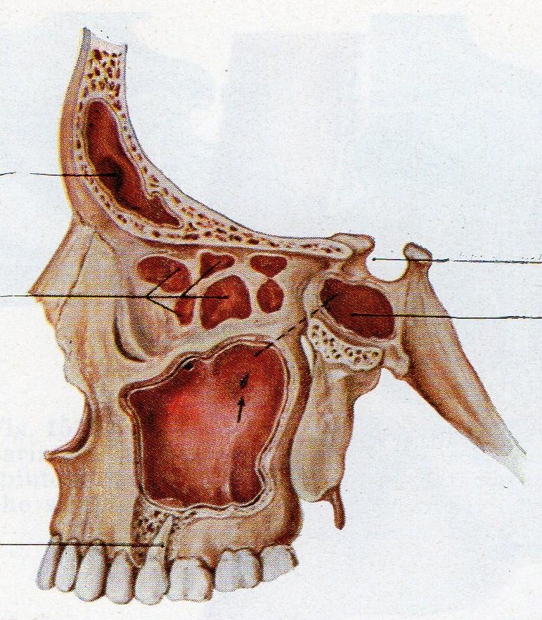 Mascellare superiore